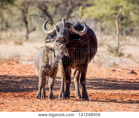 An African Buffalo mother and calf standing in savanna while the mother gets a grooming from Oxpecker birds