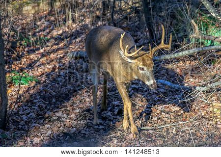 An adult white-tail buck walking down a trail during the Wisconsin deer hunting season.