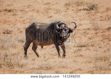 An African Buffalo bull standing in Southern African savanna