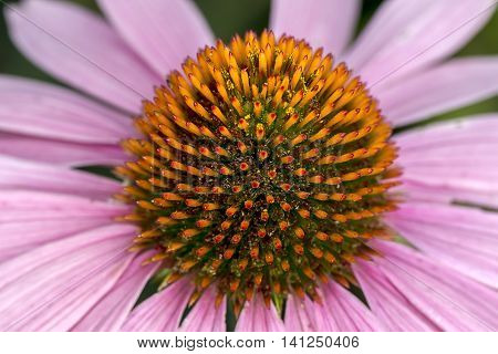 Abstract view of cone flower. An extreme close up of the Pale Purple Cone flower.
