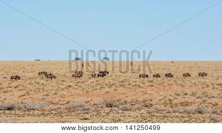 A herd of Black Wildebeest in savanna in Southern Africa