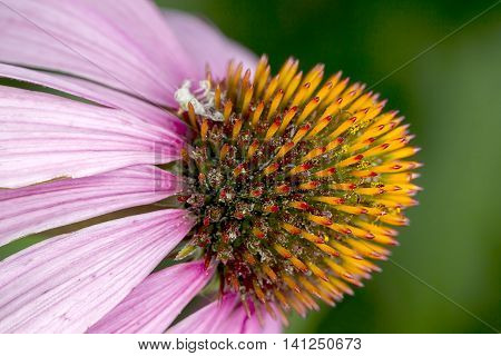 Macro of purple cone flower. An extreme close up of the Pale Purple Cone flower.