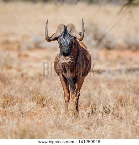 Black Wildebeest standing in savanna in Southern Africa