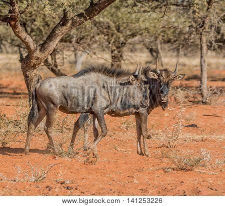Juvenile Blue Wildebeest in Southern African savanna