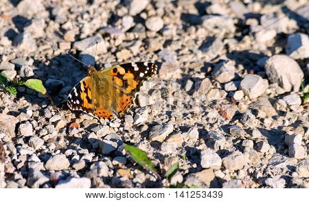 beautiful live butterfly sits on a stone road from gravel in the evening sun