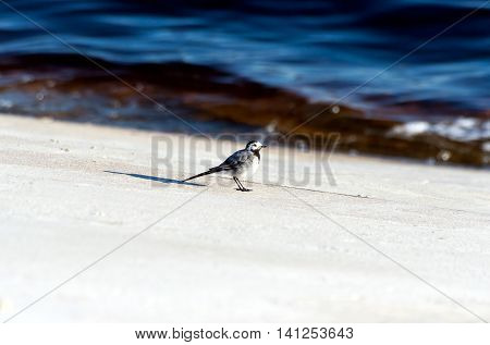 collared flycatcher on a concrete slab near the water in the summer, sunny evening,