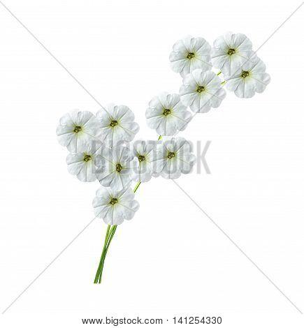 Autumn beautiful colorful morning glory flowers isolated on white background