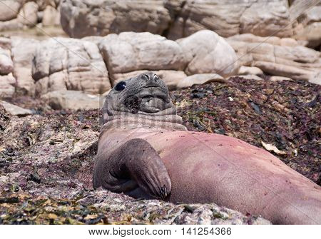 An Elephant Seal lying on a bed of kelp on a beach in Southern Africa