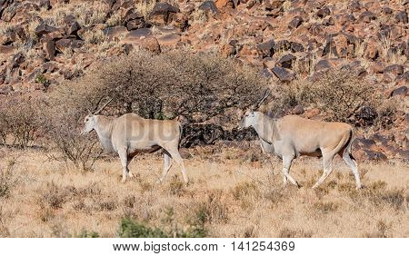 A pair of Eland bulls in savanna in Southern Africa