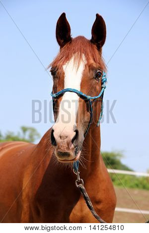 Closeup of a hungarian anglo-arabian horse head against blue sky natural background