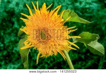 image decorative flower sunflower on a green background