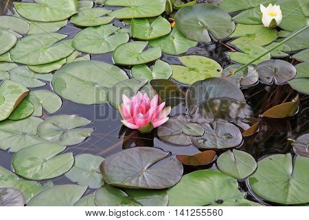Pink nymphaea flowers on the pond surface