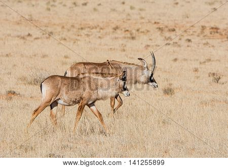 A pait of Roan antelope in savanna in Southern Africa