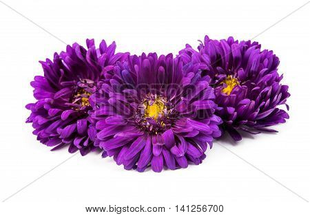 beautiful  flower chrysanthemum isolated on white background