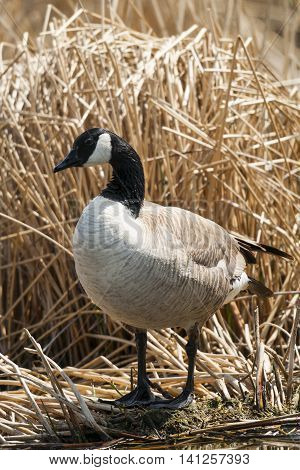 Canada Goose among reeds in a prairie wetland