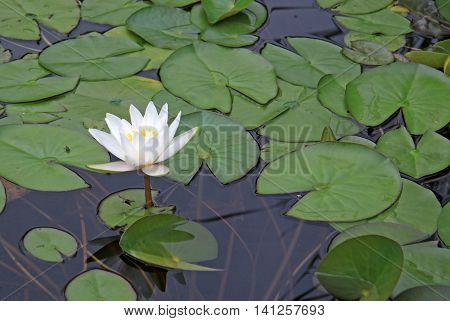 White Nymphaea Flowers On The Pond Surface