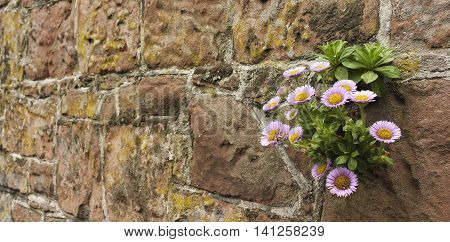 A Pink and Yellow Daisy Plant Growing in a Wall of Stone