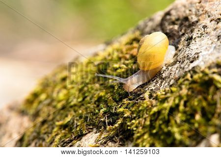 Nice Yellow Small Snail On Stone With Moss
