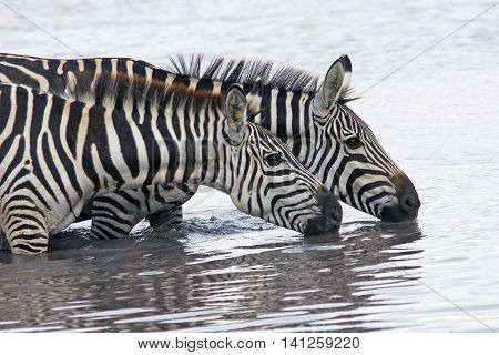 photo of two beautiful zebras gracefully bending over the river and drinking water Masai Mara Kenya