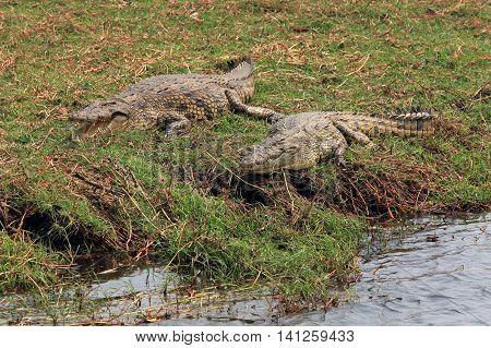 Two adult crocodile lying on river bank in the reserve Chobe Botswana