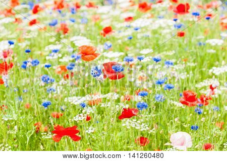 Field red blue and white flowers amongst green