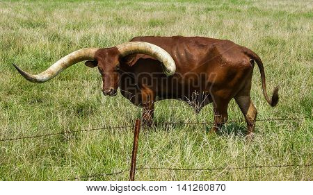 Longhorn brown bull grazing in a pasture