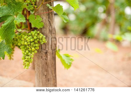 Bunch ripe green grapes hanging on vine under green leaves
