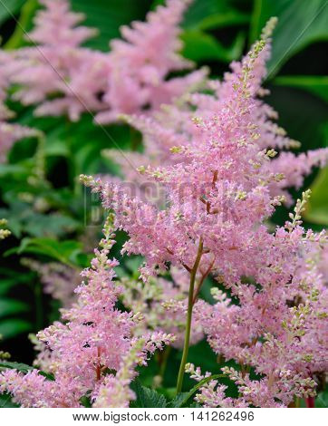 Pink inflorescences of an astilbe vertical format