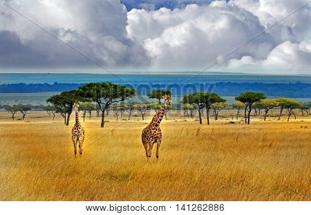 2 giraffes standing on the plains in the masai mara with a blue stormy sky