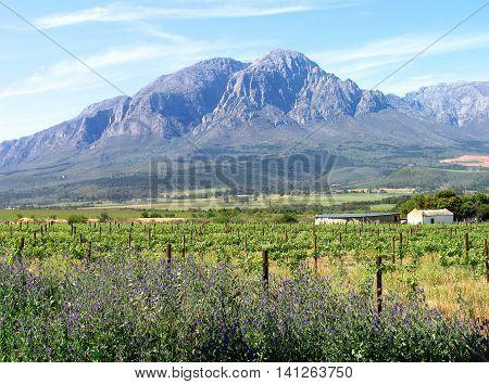 Grape Farm, Western Province Cape Town South Africa 01b