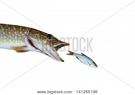 pike chasing rudd isolated on white background