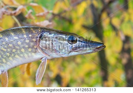 small pike on a background of yellow leaves