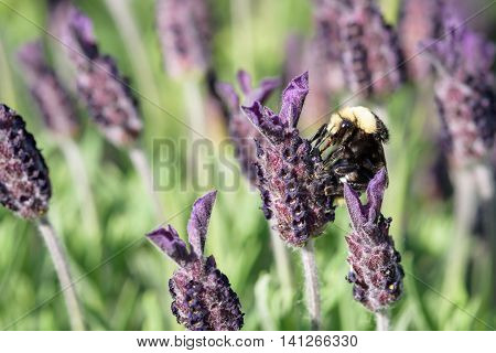 Bumble bee on a lavender flower, pollination