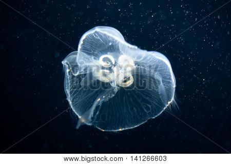 jellyfish swim in black dark oceans water; medusa drift in the deep sea