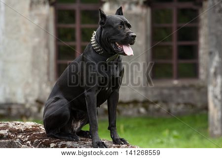 The black dog is sitting on a rock on a background of the old building and the windows. Breed Cane Corso.