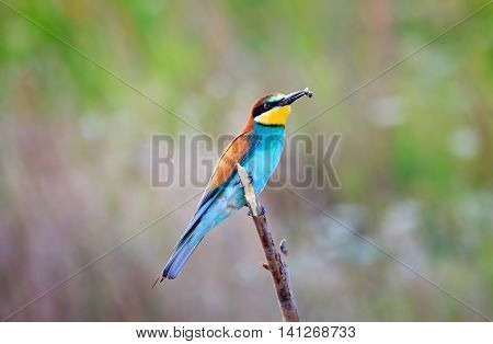 European bee-eater ( Merops Apiaster ) sitting on the branch with a bee in the beak. Blurry background