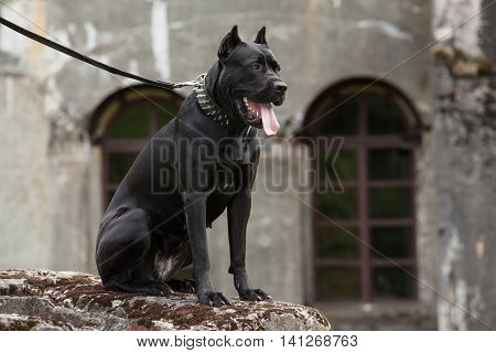 Black dog on a leash sitting on a rock on a background of the old buildings and arched windows. Breed Cane Corso.