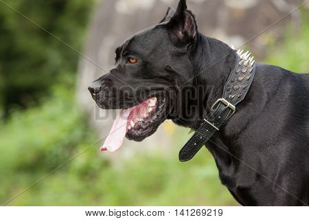 Close-up portraits of a black dog on a background of stone. Profile. Breed Cane Corso.