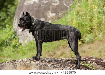 Big black dog standing on a rock in profile on green background. Breed Cane Corso.