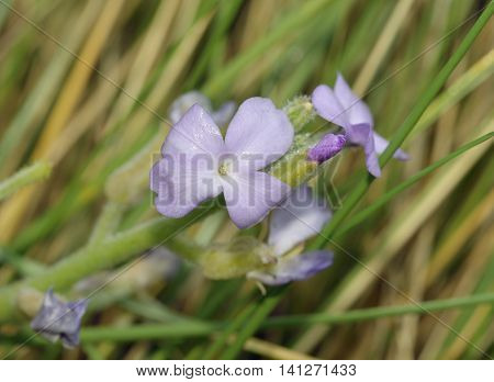 Sea Rocket - Cakile maritima Coastal member of Cabbage family