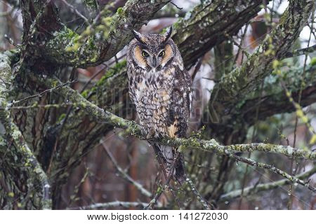 long eared owl and well Camouflage close up