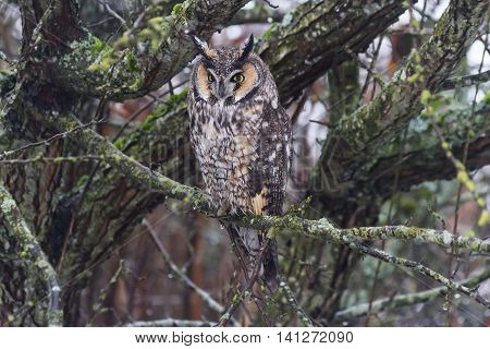 long eared owl from Delta BC Canada