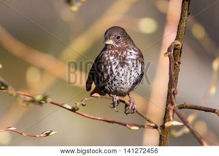 Fox Sparrow shot at vancouver BC Canada