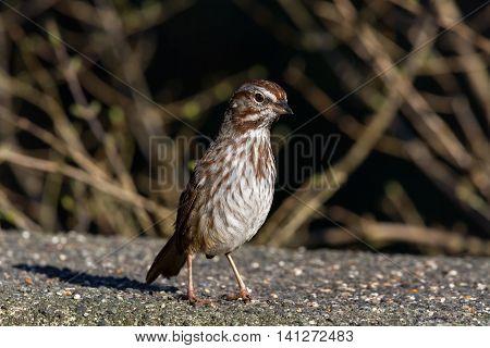 Song Sparrow shot at vancouver BC Canada