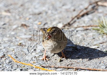 a Golden crowned Sparrow standing on ground