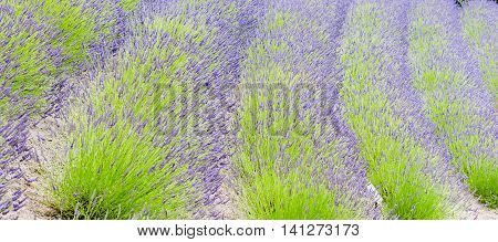 Rows of green and purple lavender plants in luxuriant growth