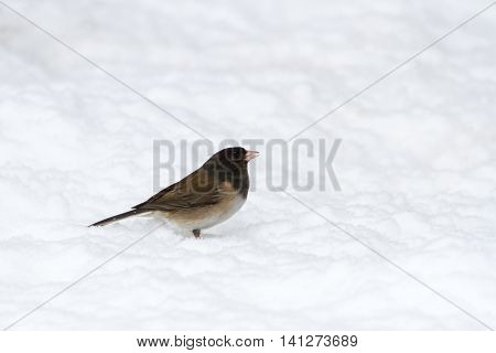 Dark eyed Junco and snow close up