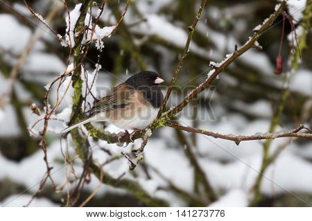 Dark eyed Junco in winter close up
