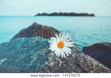 Lone wild chamomile flowers on grey stone blue water and island background. Daisies on the rocky beach. Solitariness loneliness concept.