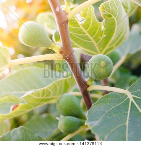 Figs on the branch of a fig tree. Figs ripening on a fig tree with sunshine.
